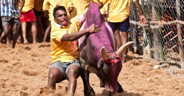 तमिलनाडु में अब बैलों पर राजनीति शुरू हो गई है
