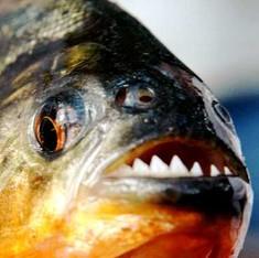 गोदावरी की पिरान्हा दूसरी मछलियों और मछुआरों, दोनों के लिए बड़ा खतरा है